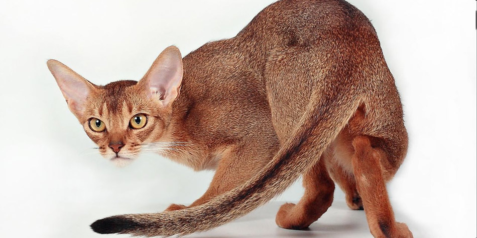 Kucing-ras-jenis-Abyssinian