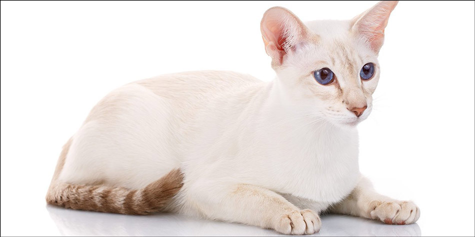 Kucing-ras-jenis-Colorpoint-Shorthair