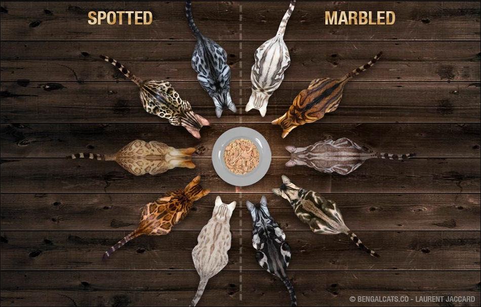 ada 6 warna dasar dari kucing bengal untuk motif spotted dan marbled