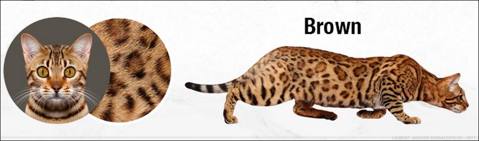 KUCING BENGAL WARNA COKELAT (BROWN)