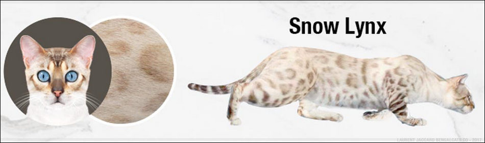 KUCING BENGAL WARNA SALJU (SNOW) seal lyxn